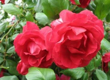 O inverno é ideal para podar roseiras