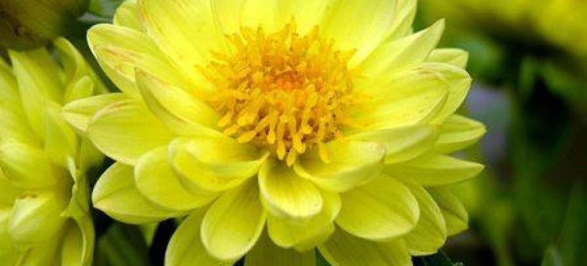Jardinagem: mês das dálias