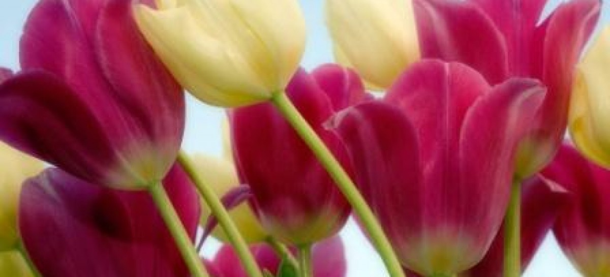 A beleza das tulipas