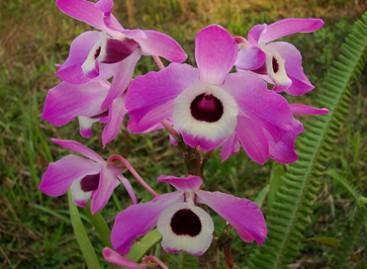 Orquídea Olho-de-boneca