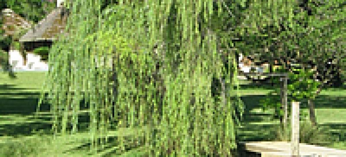 Árvores ornamentais: Salgueiro Chorão