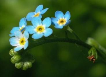 Miosótis: flor de setembro