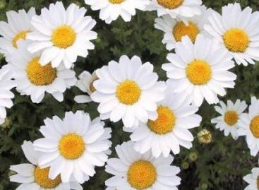 Minimargaridas: jardins coloridos para o verão